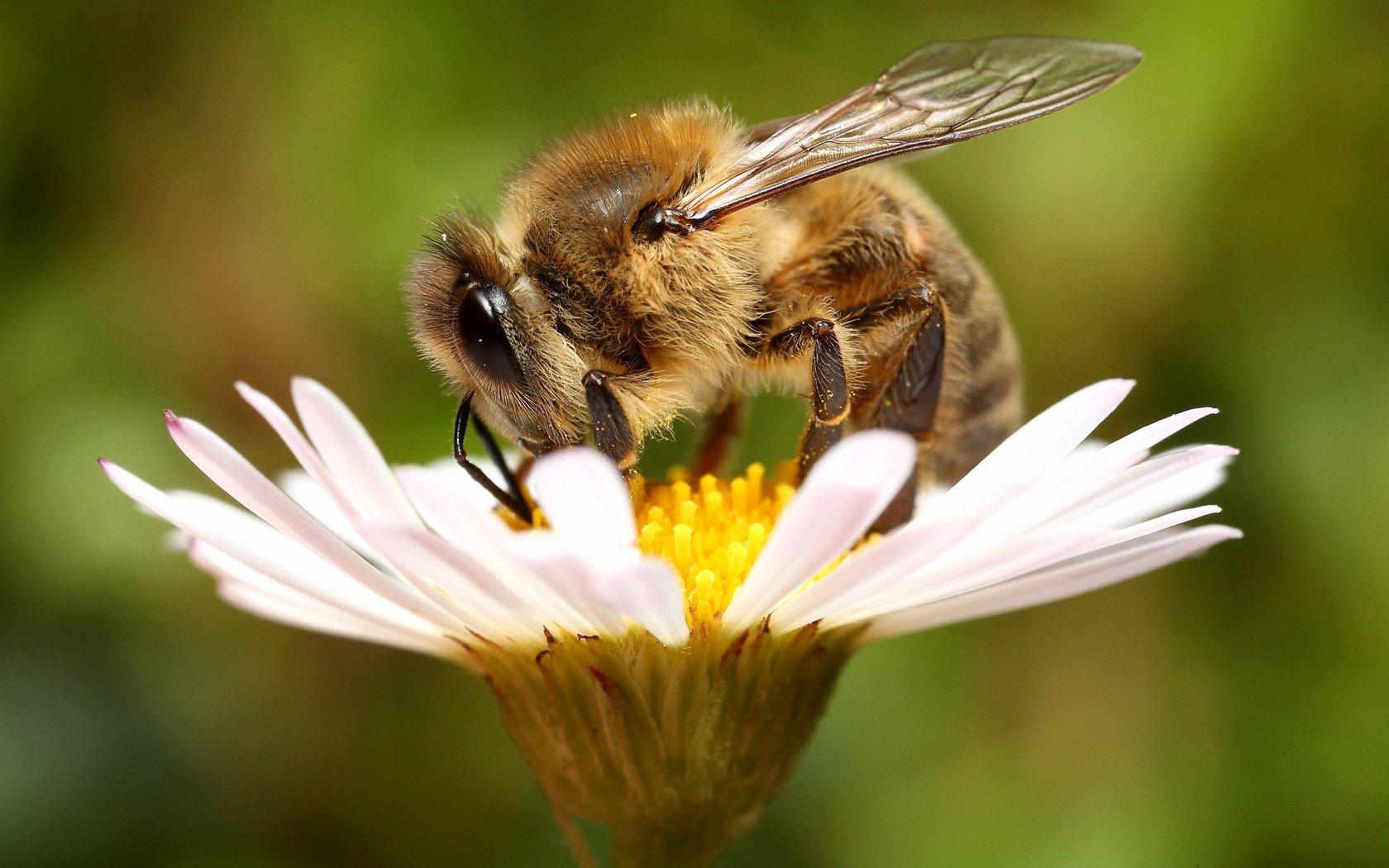 Пчела красивые картинки