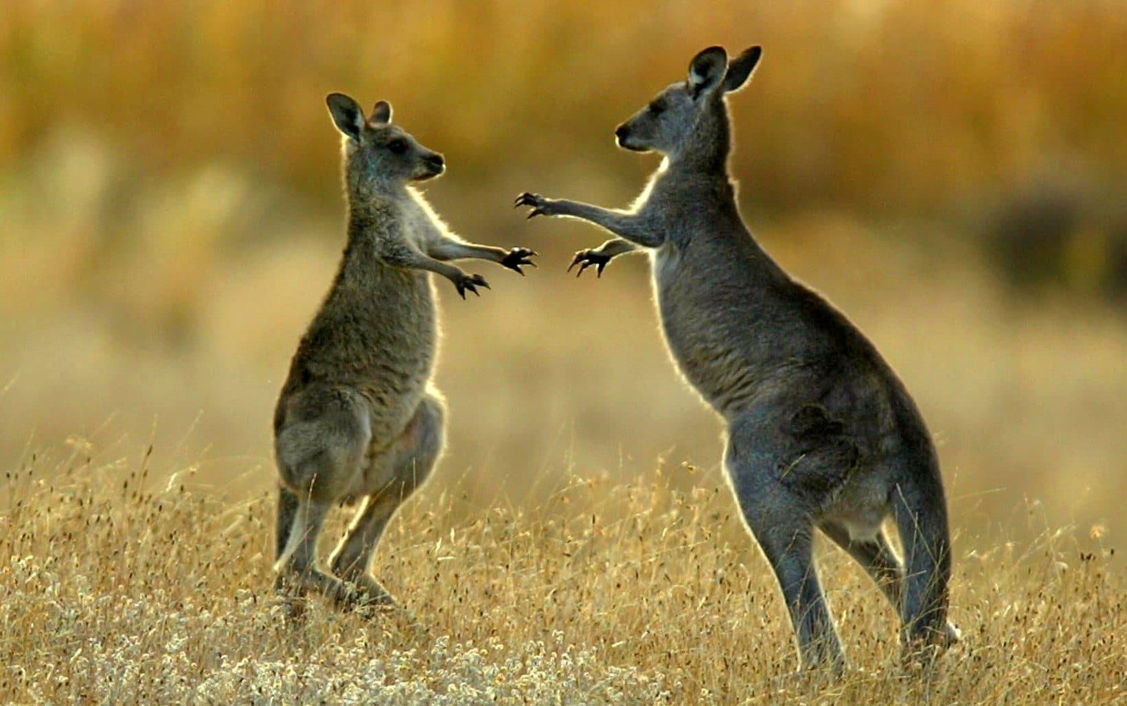 Секс с кенгуру онлайн, Кенгуру секс. Смотреть на сайте online 29 фотография