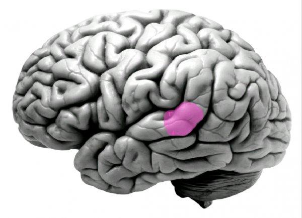 Siri прямо в мозге: Ученые нашли область мозга, отвечающую за распознавание голосов