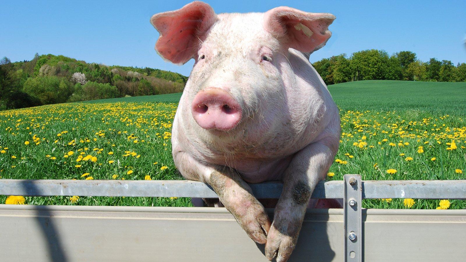 картинки с изображением свиньи на рабочий стол центре