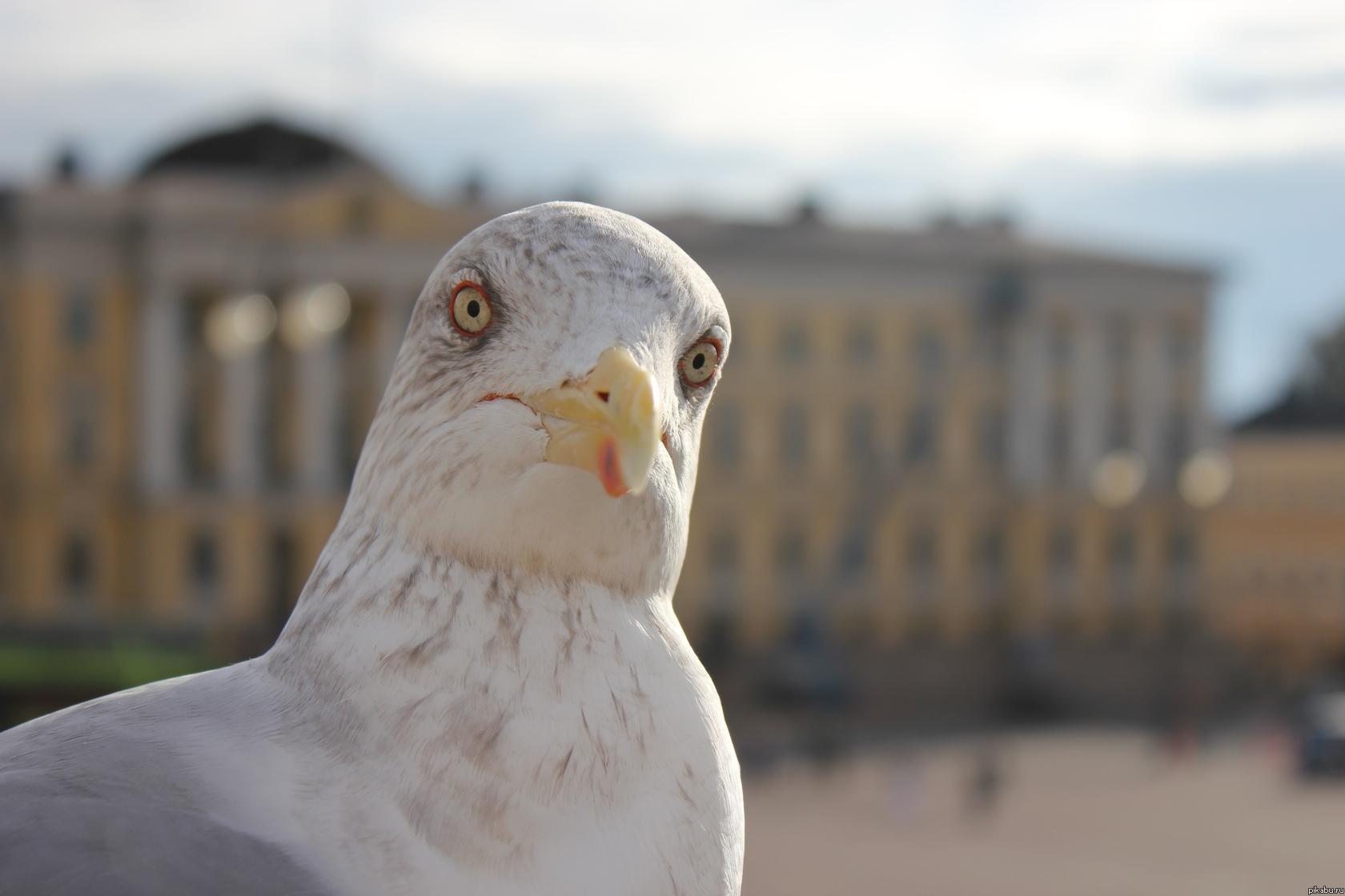 Прикольная картинка чайки