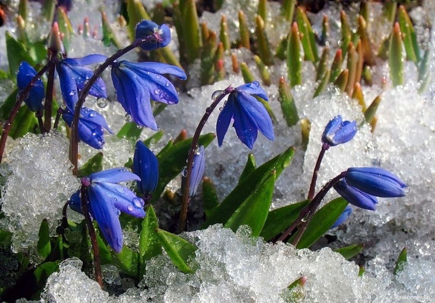 картинка голубые подснежники в снегу