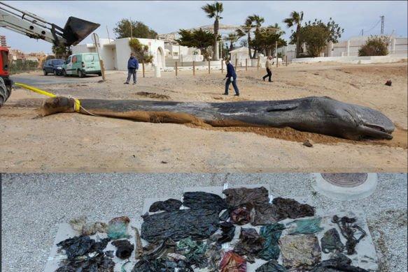 ВИспании умер кит из-за съеденного пластика