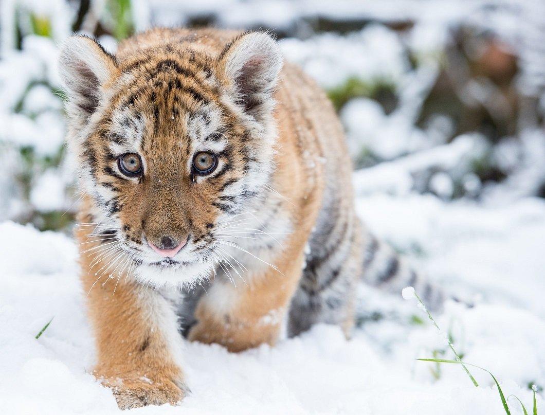 2-х  мертвых тигрят обнаружили сборщики черемши вХабаровском крае