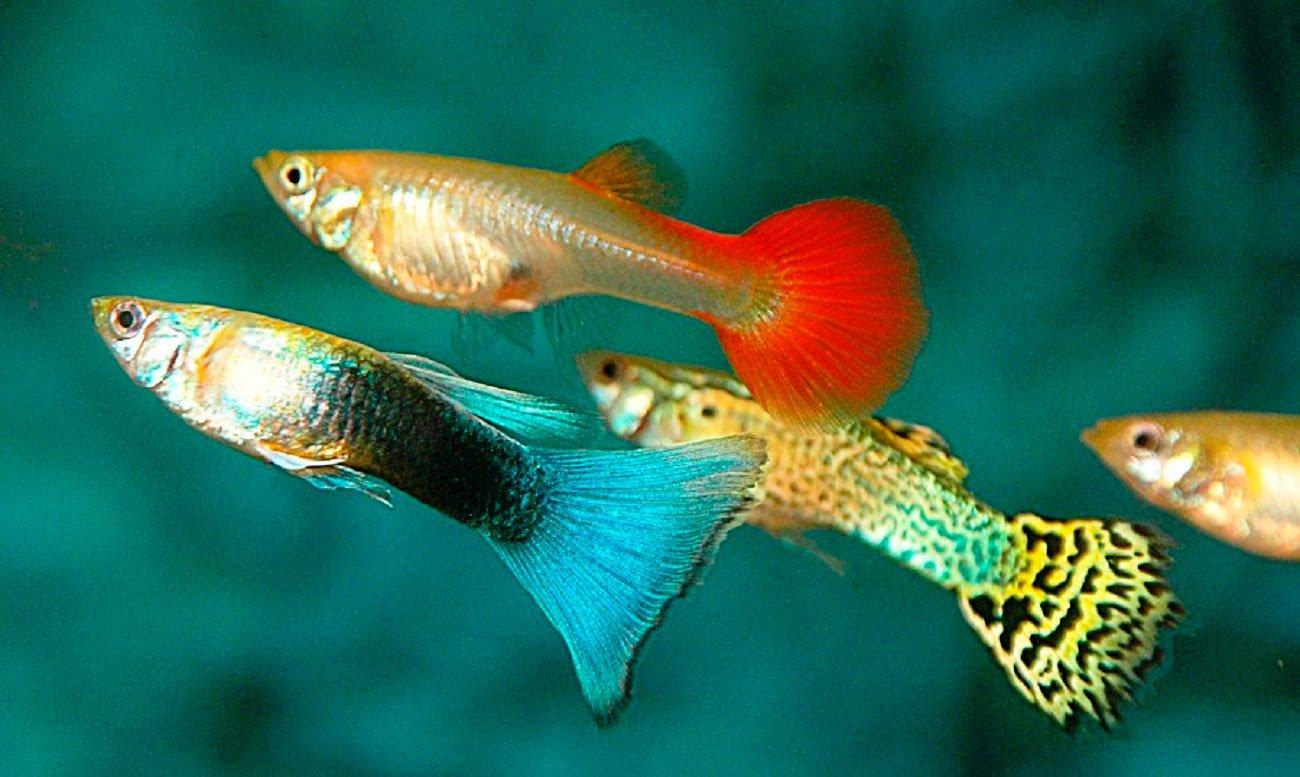 Картинки о рыбках гуппи