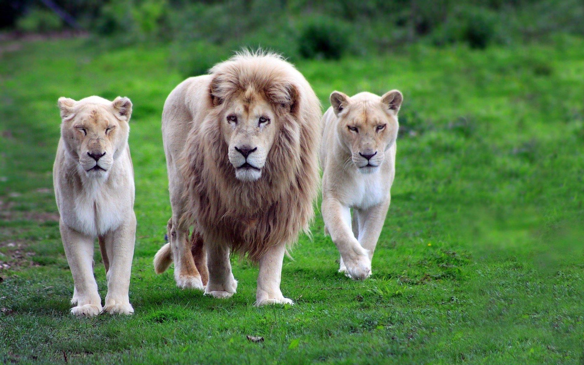 Львы загрызли браконьеров, покушавшихся нарога носорогов