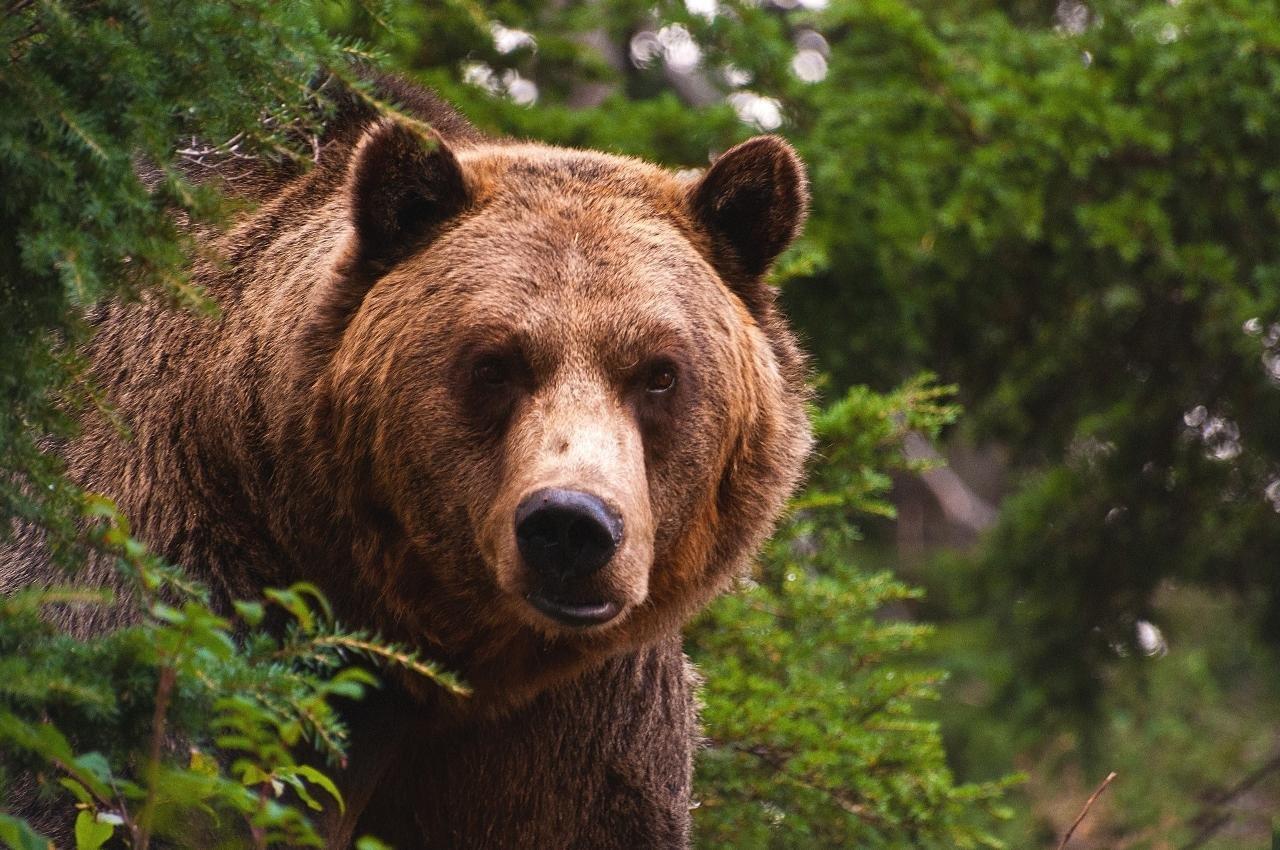 Застрелены. НаКамчатке медведи раскопали могилы накладбище
