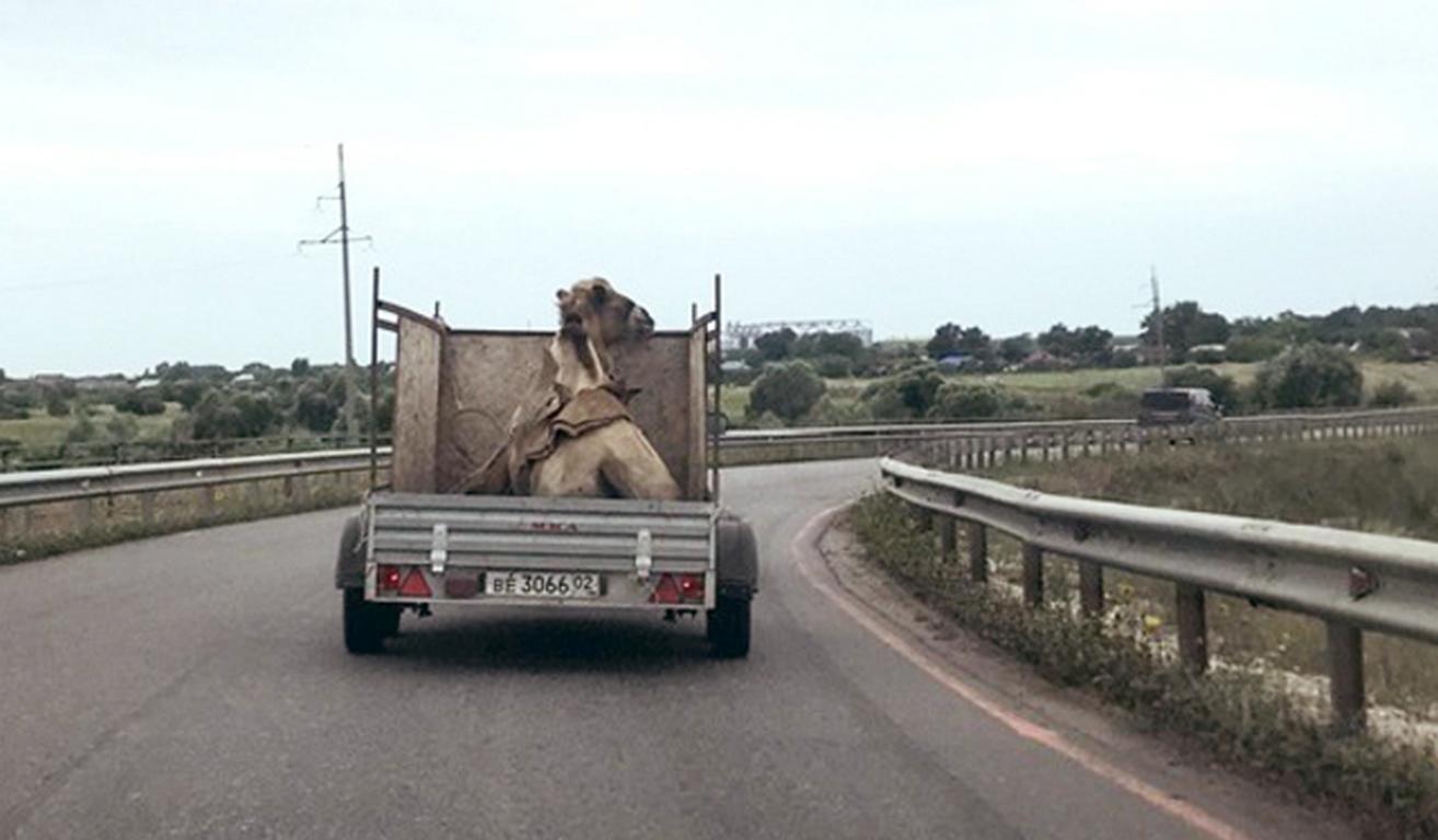 ВВоронеже высмеяли транспортировку верблюда вприцепе