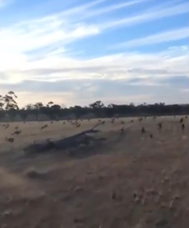 ВАвстралии полчища кенгуру атаковали пастбище ипопали навидео