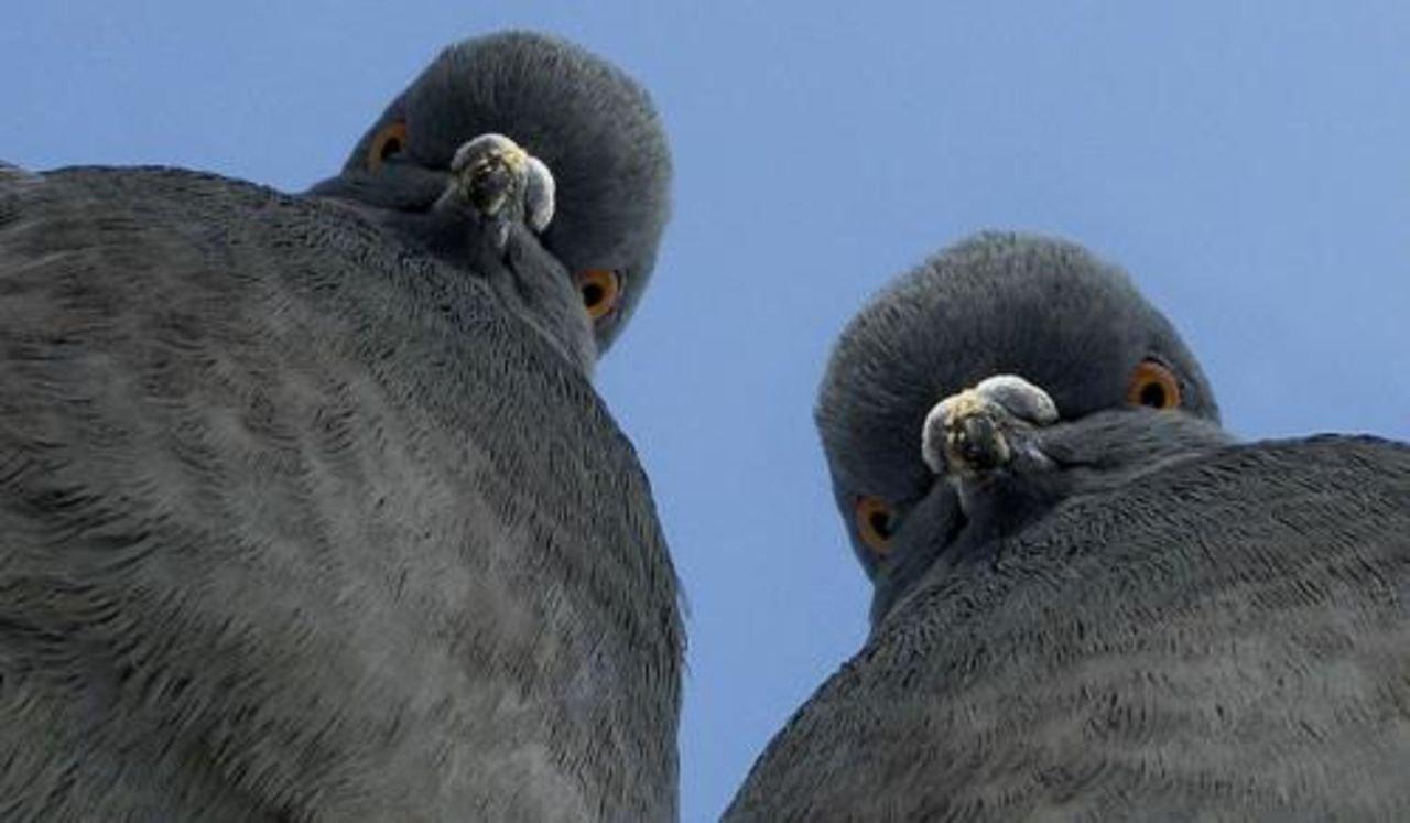 Для, прикольные картинки голубей