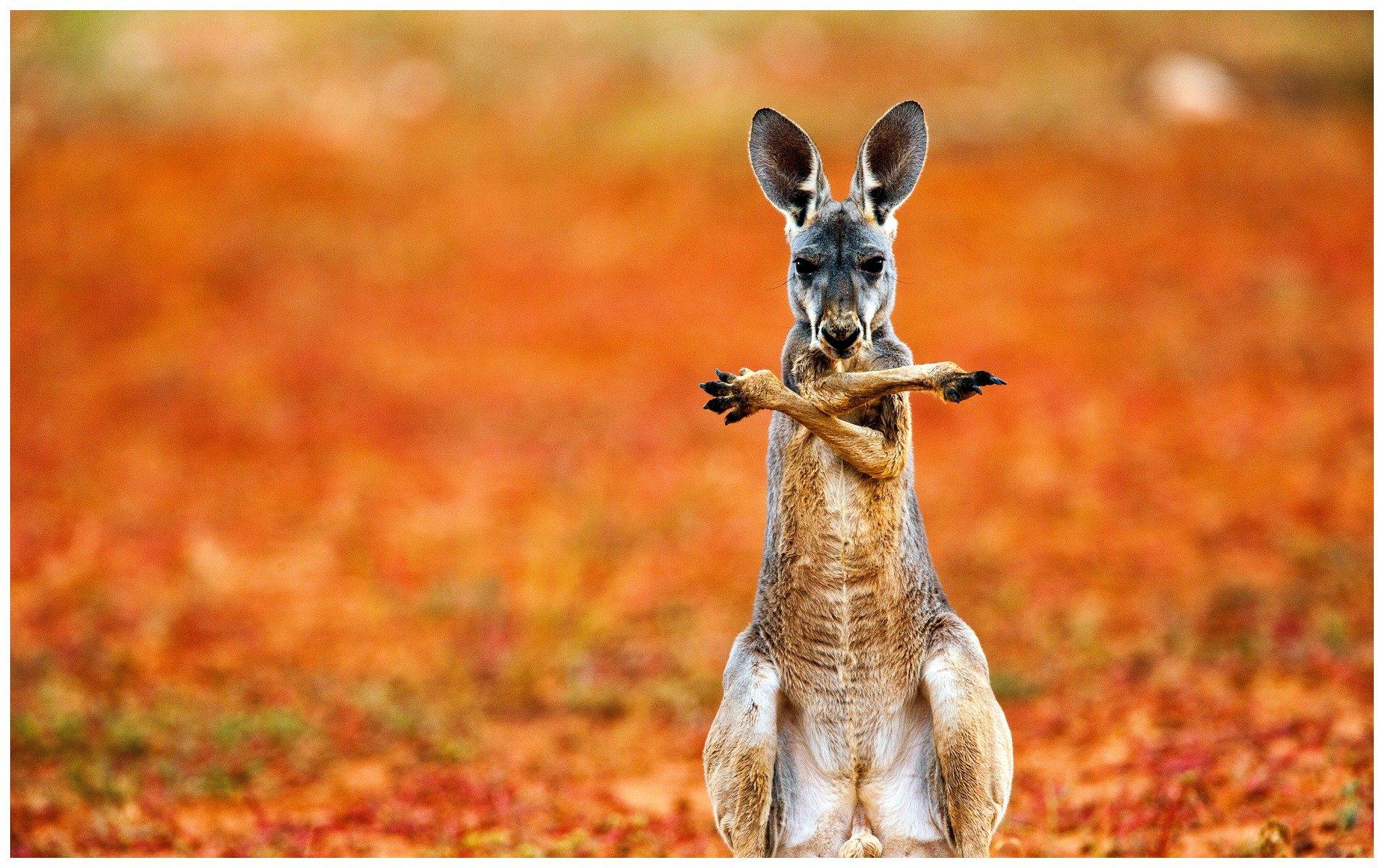 смешные картинки кенгуру славном городе