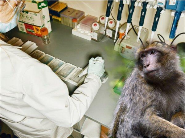 Гарвардская вакцина от COVID-19 оказалась успешной для обезьян