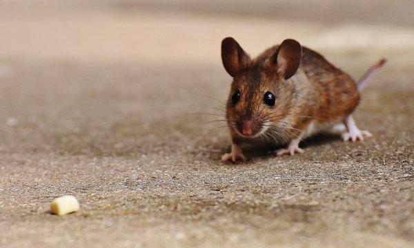Мышь запах передать сыр
