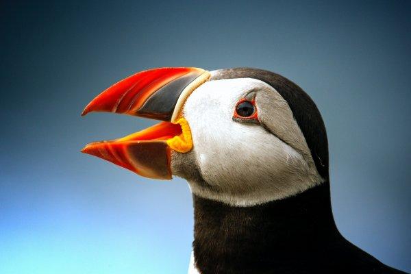 Американские биологи показали, что морские птицы могут плавать из-за строения крыльев